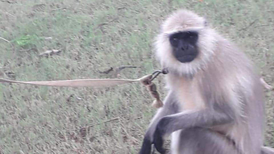 greater noida,langurs,cruelty to animals