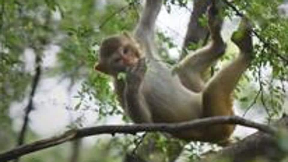 sterilise,monkey menace,forest department