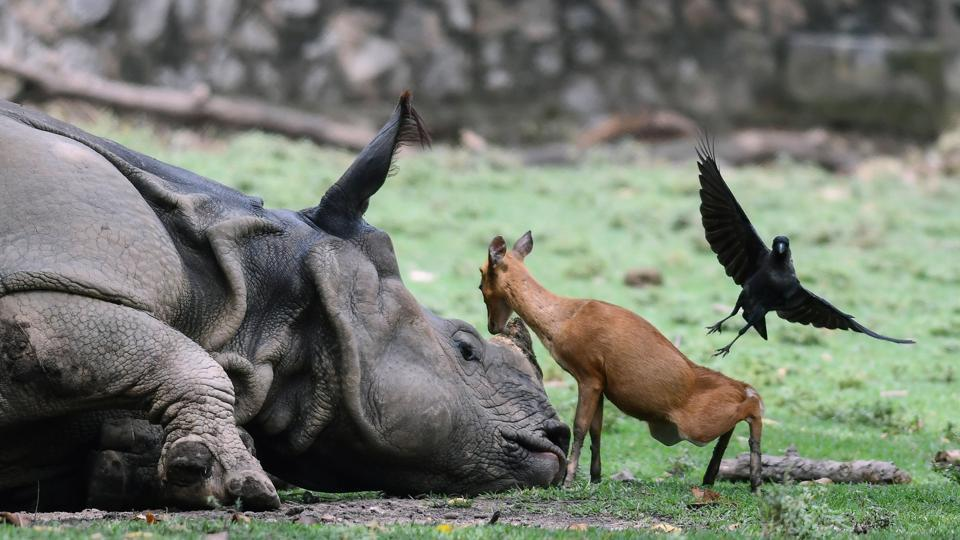 A young Indian hog deer calf stands next to a one-horn rhinoceros as a crow flies next to them at an enclosure at the Assam State Zoo on August 21, 2018 in Guwahati, Assam. 12 animals including eight jackals at Assam State Zoo have died in recent days following a canine distemper outbreak. (Biju Boro / AFP)