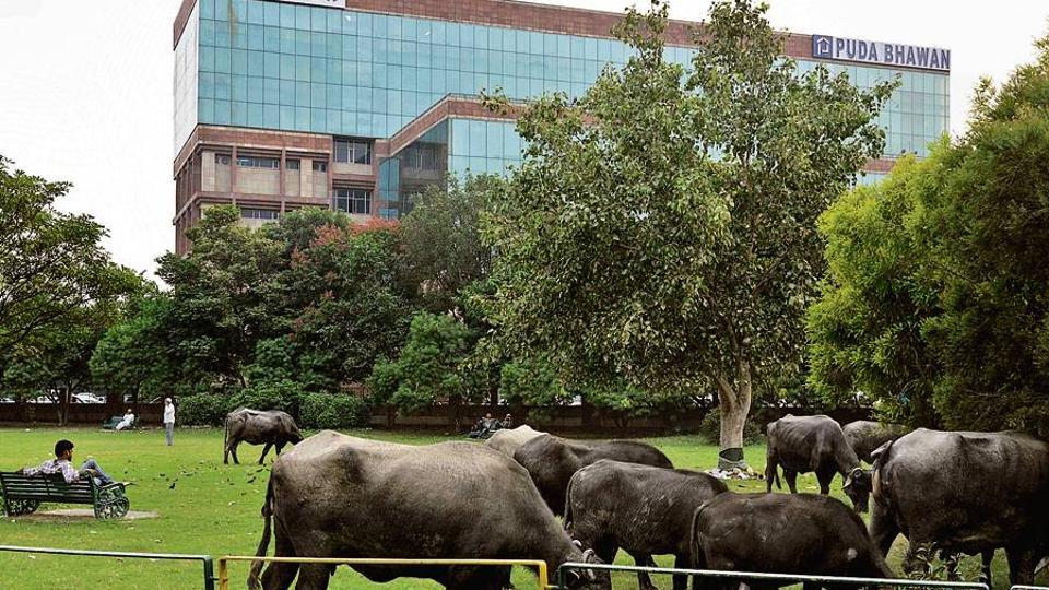 Stray cattle have a free run in Mohali despite the MC claims to rein them in. Here they graze in front of the PUDA Bhawan in Mohali.