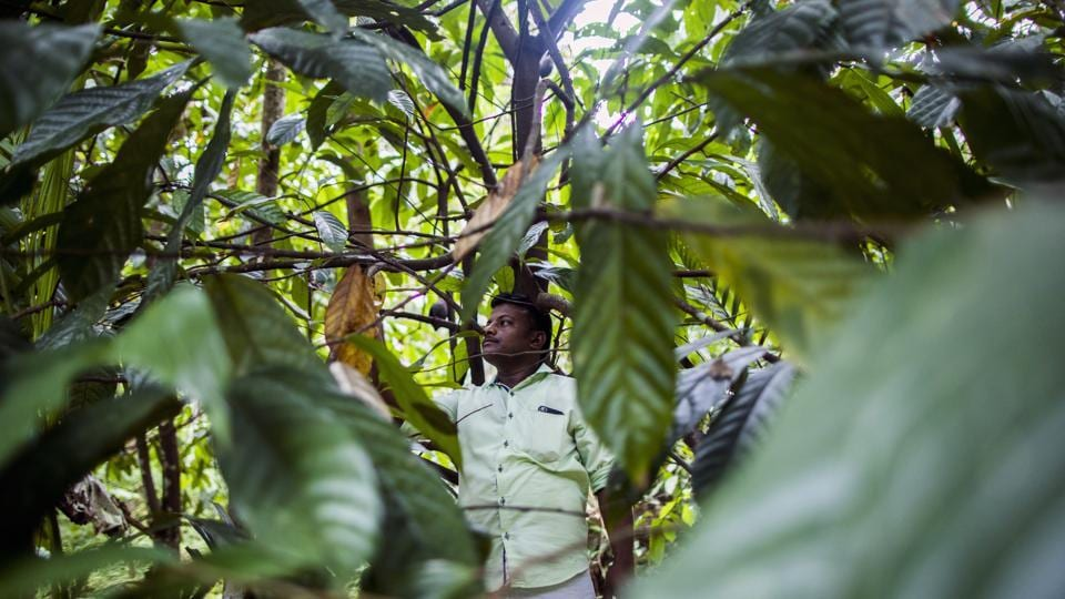 A farmer attends to a cocoa tree at a plantation in the district of Idukki, Kerala. More than a week after the floodwater began subsiding; animal carcasses are still floating in Kerala's backwaters. Showers, flooding and landslides damaged trees ravaging the coffee, tea and cocoa plantations in the main growing areas of Kerala. (Prashanth Vishwanathan / Bloomberg)
