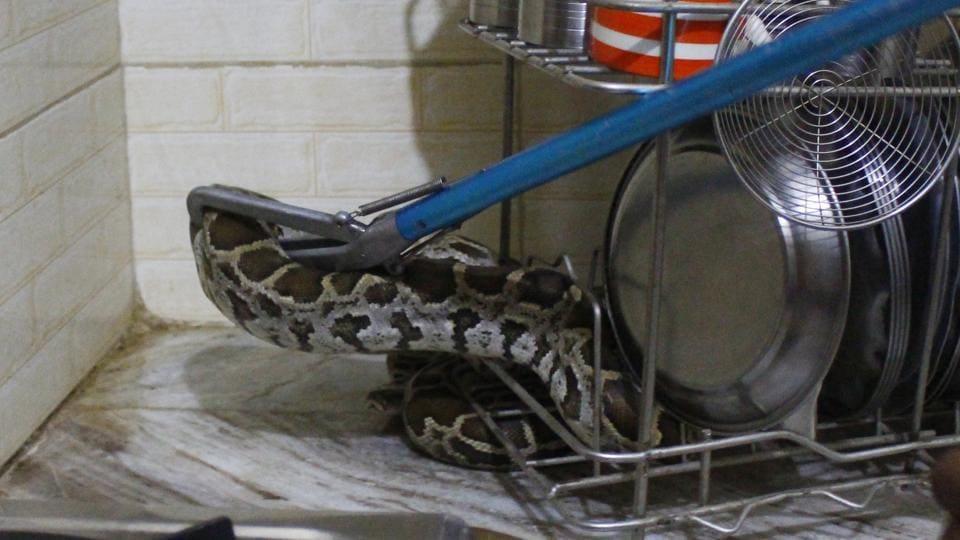 gurugram,snakes rescued in gurugram,gurugram rains