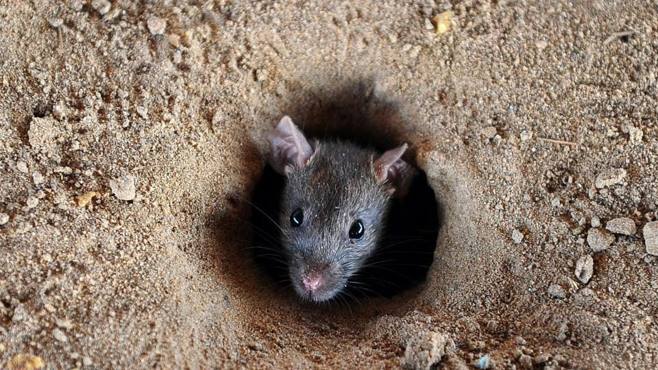 (FILES) This file photo taken on July 28, 2015 shows an Indian rat looking out of a hole in the ground in Allahabad.