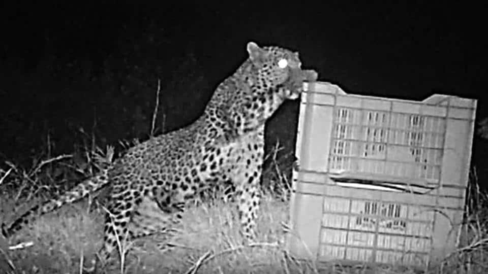 CCTV footage shows the mother leopard reuniting with its cub, which the officials had placed inside a box