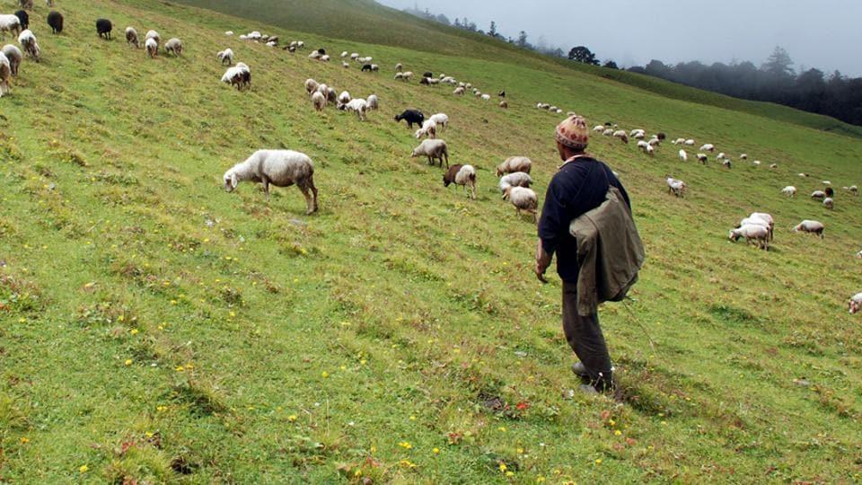 A shepherd with his flock at the green pastures of Aali Bugyal in Chamoli district,  Uttarakhand.