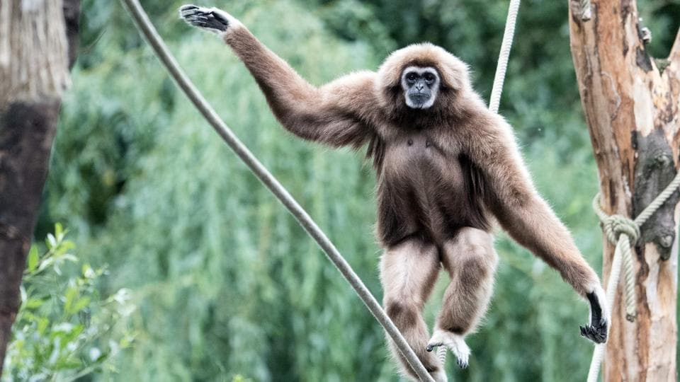A white-handed gibbon walks on a rope in its enclosure at the zoo in Wuppertal, western Germany. (Federico Gambarini / dpa / AFP)