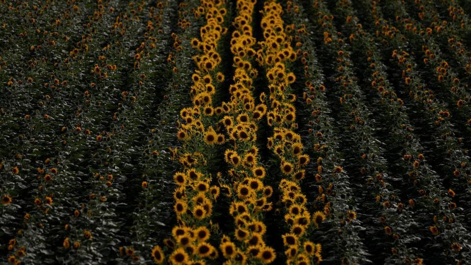 Rows of sunflowers are seen on a cereal intensive farm near Portel, Portugal. As wildfires scorched California yet again this summer, Jose Dariush Leal da Costa, a Bay Area native with Portuguese roots, was harvesting his first almonds in a sun-drenched, watery oasis in southern Portugal. (Rafael Marchante / REUTERS)