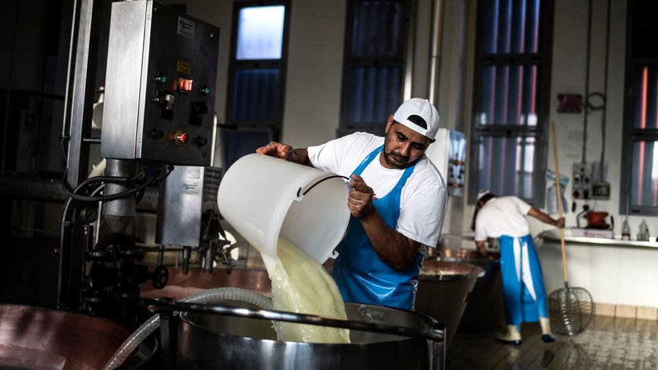 The Italian cheesemaking industry in the latter half of the 20th century faced a shortage of unskilled workers willing to take up jobs in dairy and on farms, with young workers moving to urban centres. Incoming workers from Punjab, eager for employment fit the bill and helped despite their lack of Italian language skills. (Marco Bertorello / AFP)