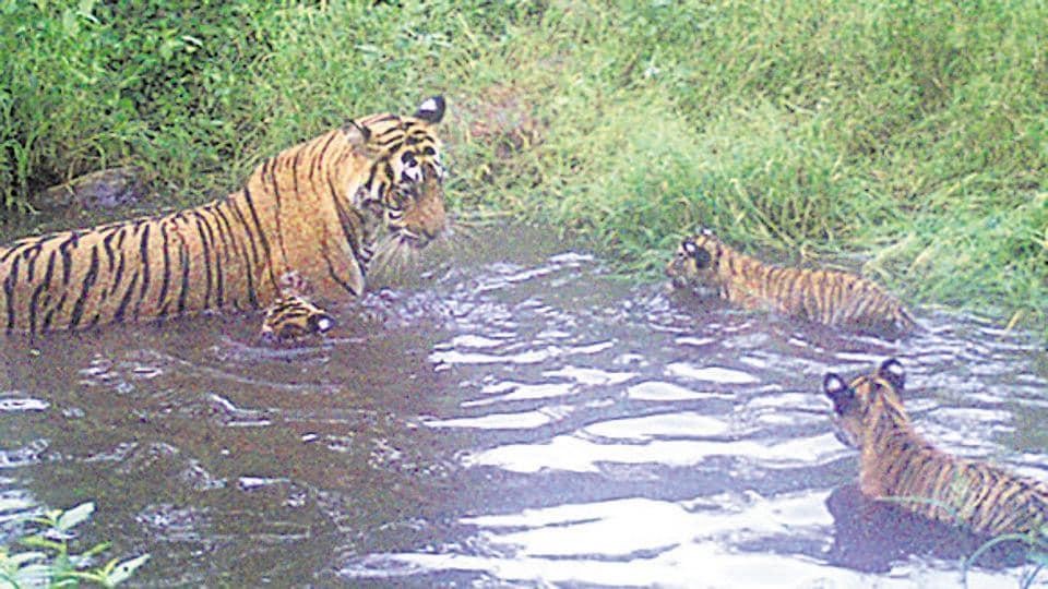 sariska,sariska tiger reserve,tiger population