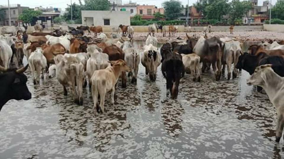 Cows,Waterlogging,Transit camp