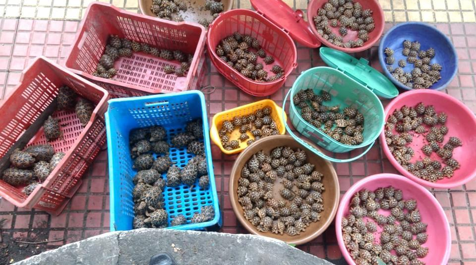 The protected star tortoises are sold in the market for up to Rs 4,000. A senior official associated with the seizure said the seizure on Thursday was the largest in recent times.
