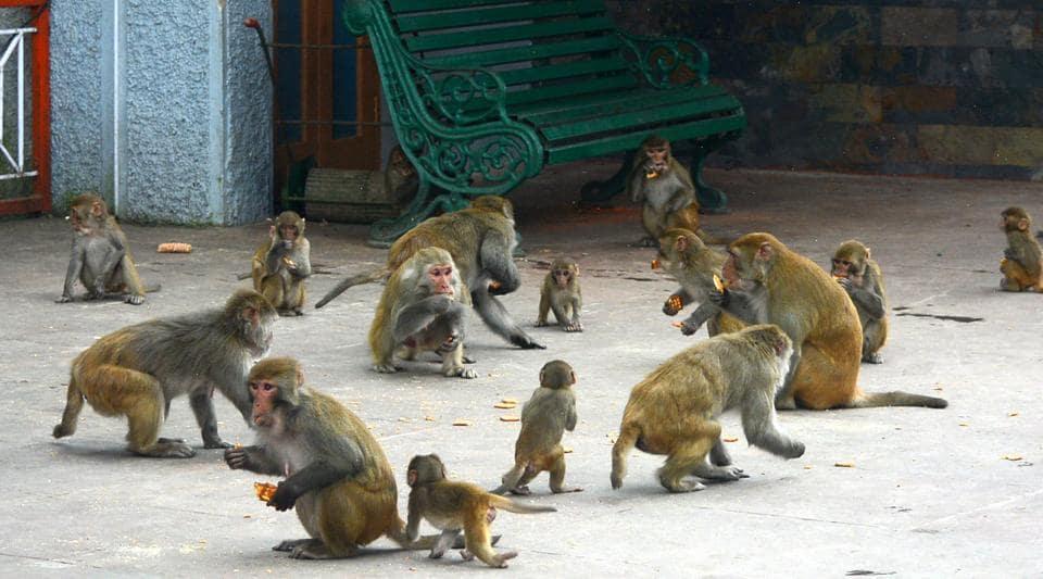 Himachal Pradesh,monkeys