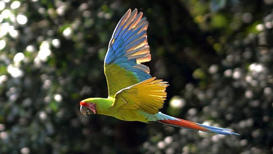 A Green Macaw  flies in the mountains near Manzanillo Beach, 280 km east of San Jose.