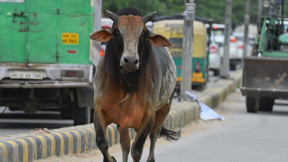 When the MLA was exchanging pleasantries with locals, a loud noise disturbed one of the bulls which went berserk forcing the crowd to rush to safety.