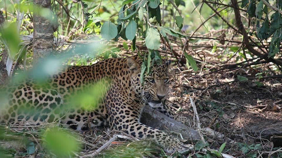 Leopard,Man eater,Uttarakhand