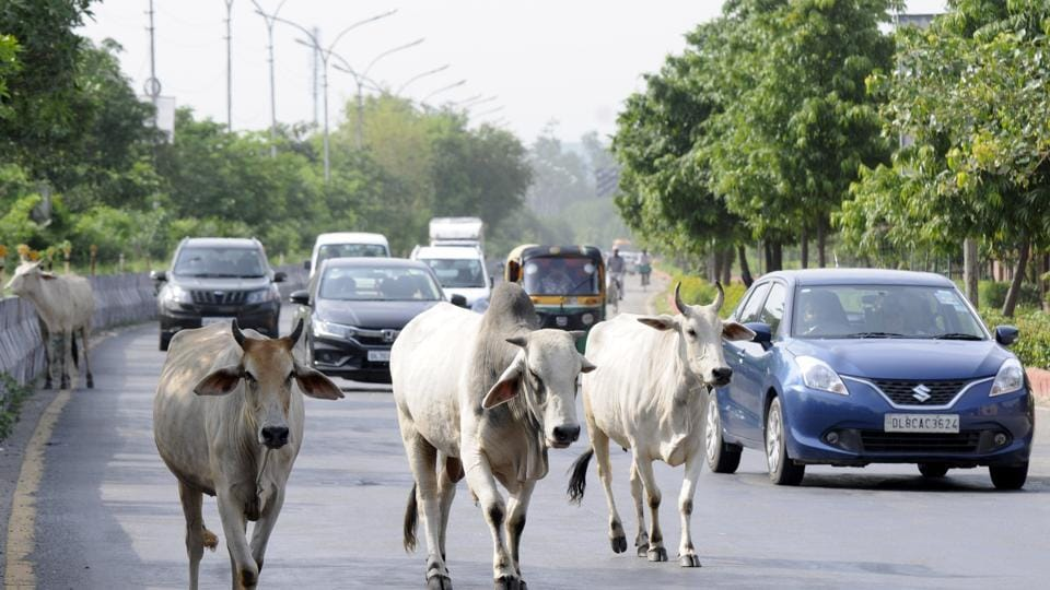 cattle,accident