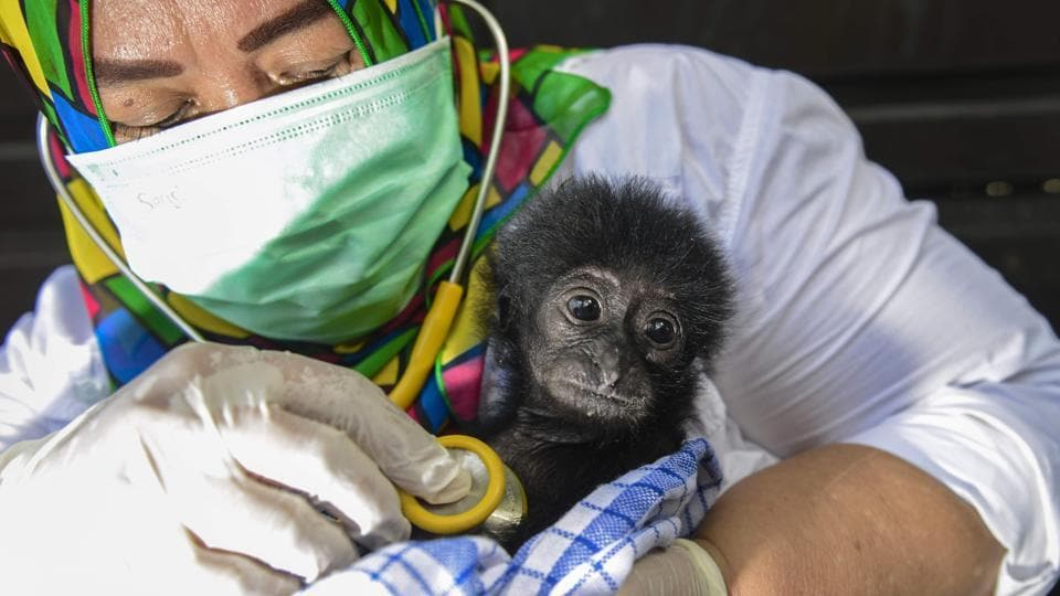 A veterinarian tends to a rescued baby black gibbon (symphalangus syndactylus) at a local nature conservation agency's office in Banda Aceh, Aceh province, Indonesia. Siamangs are listed as 'endangered' in the International Union for Conservation of Nature (IUCN) Red List. (Chaideer Mahyuddin / AFP)