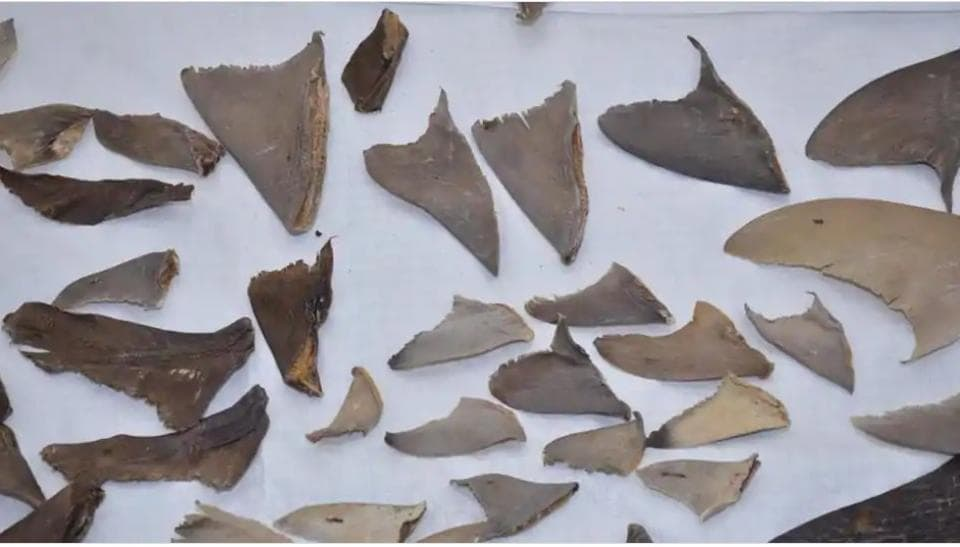 Authorities seized 8,000 kg of shark fins in the first week of September.