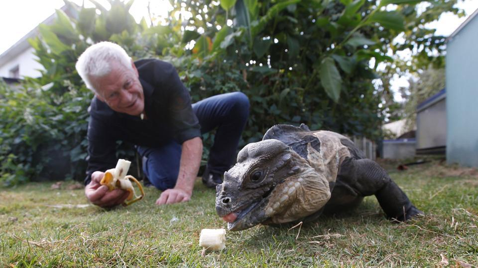 Gillet feeds his Iguana a banana in his garden. While he personally feels completely at ease surrounded by hundreds of reptiles, the local fire department is a bit more cautious --they are under instructions not to enter his house even in an emergency. (Stephane Mahe / REUTERS)