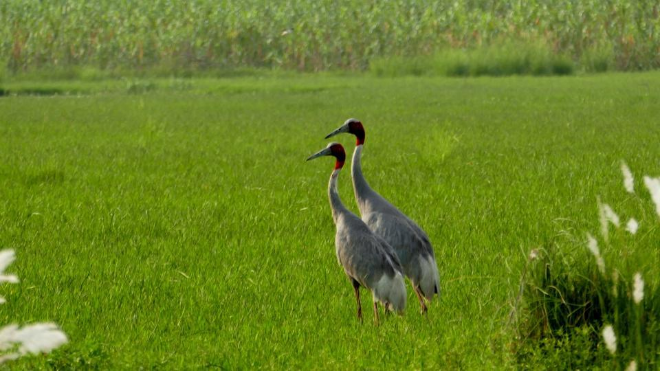 According to birders, there are two pairs of cranes near the main water body of the Dhanauri wetland in Noida, as well as 20 more pairs in the vicinity of the Surajpur wetland.