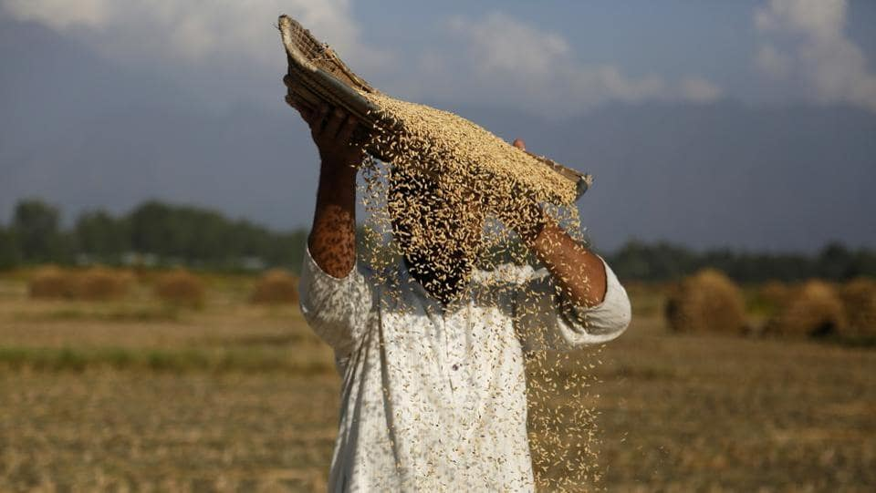 A farmer separates grain from chaff on the outskirts of Srinagar, Jammu and Kashmir. (Mukhtar Khan / AP)