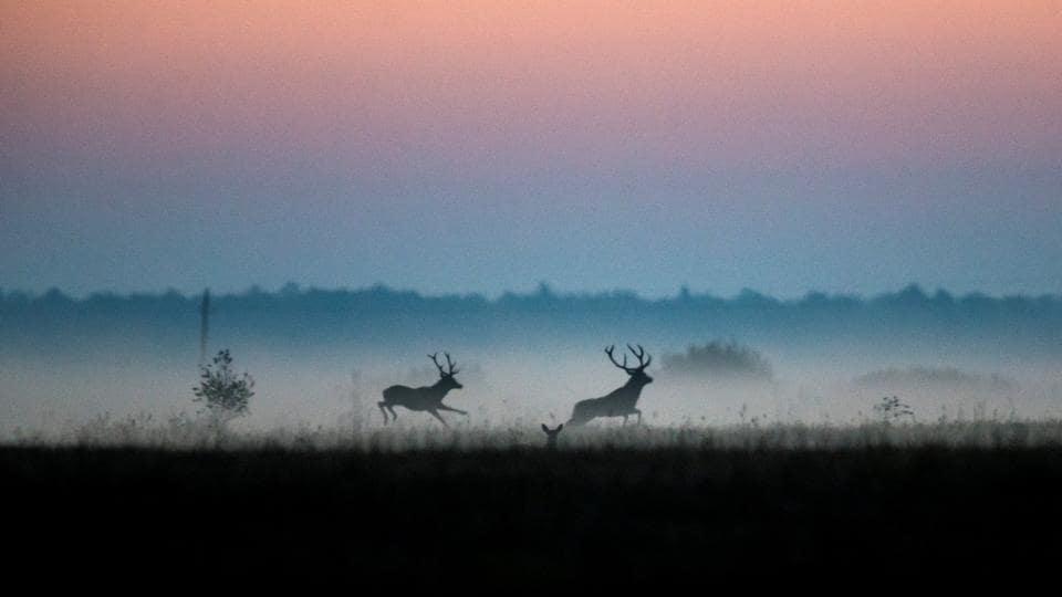 Male deers run in a field in Republican landscape reserve 'Naliboksky' near the village of Kozliki, Belarus. (Vasily Fedosenko / REUTERS)