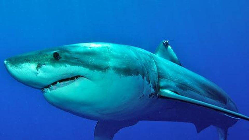 shark,skin diving,Southern California beach