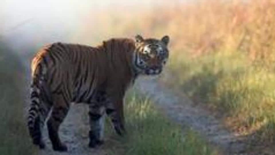 Tigress,Sundari,Odisha