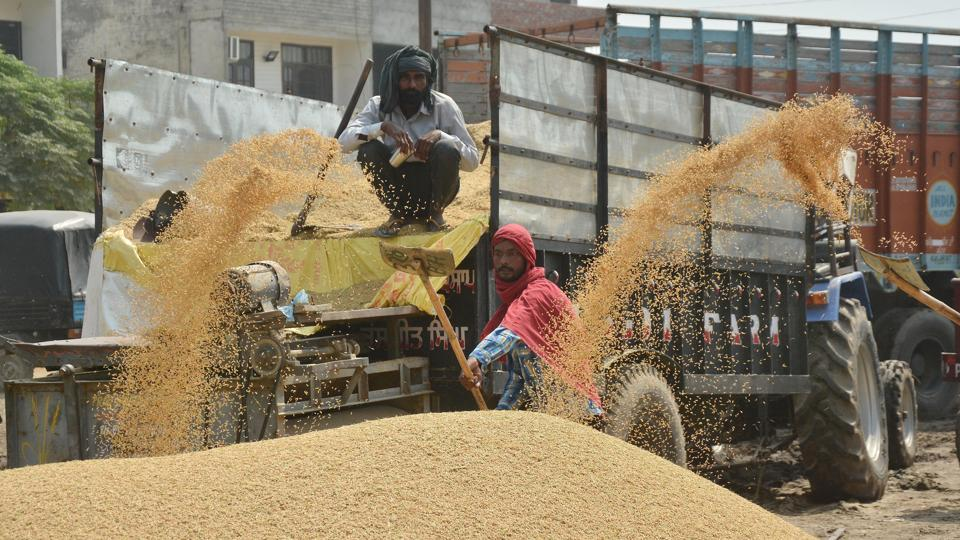 A worker piles up paddy grains at the Bhagtanwala grain market in Amritsar on Wednesday.  (Sameer Sehgal/Ht photo)