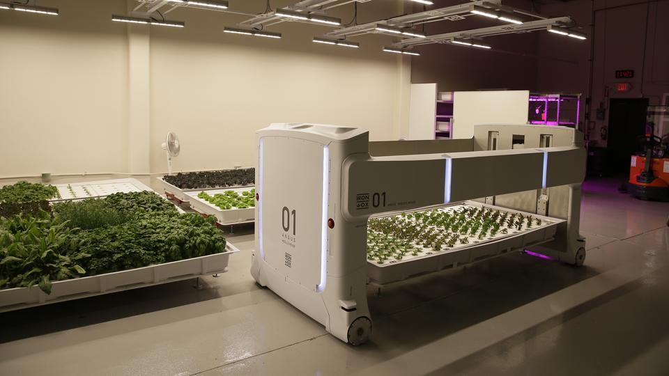 A mover robot called Angus transports plants being grown at Iron Ox. Although no deals have been struck yet, Alexander said Iron Ox has been talking to San Francisco Bay area restaurants interested in buying its leafy vegetables and expects to begin selling to supermarkets next year. Initially, though, the company will sell its produce at a loss in order to remain competitive. (Eric Risberg / AP)