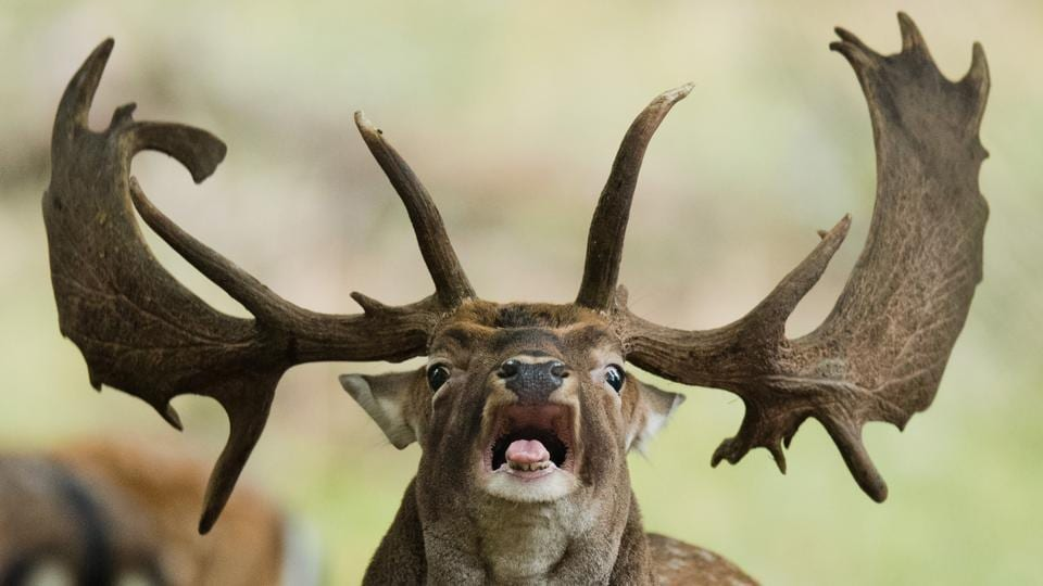 A fallow deer roars during the rutting season in the zoological garden in Hannover, northern Germany. (Juan Stratenschulte / dpa / AFP)