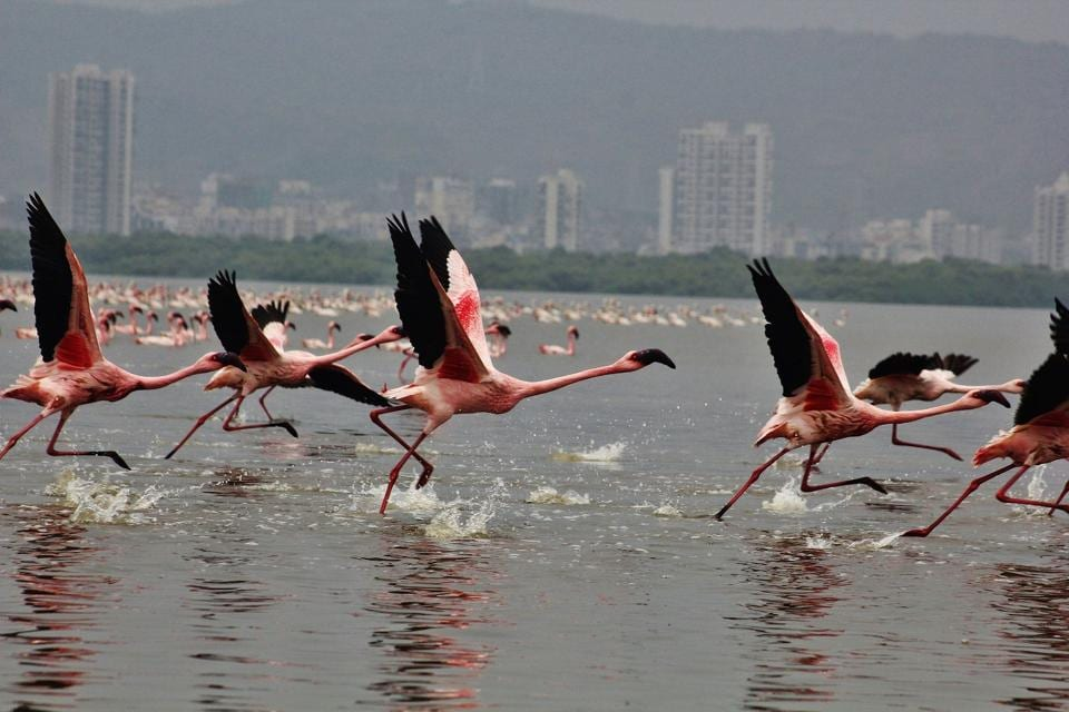 The number of flamingos decreases at Thane creek due to illegal dumping.