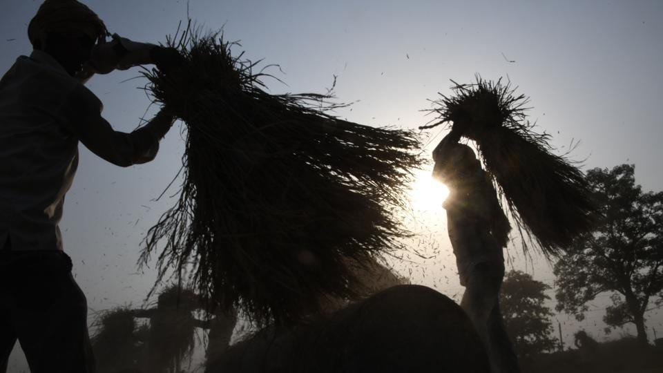 Farmers separate husk from harvested wheat grain in a field on the outskirts of Sonipat, Haryana. (Dominique Faget / AFP)