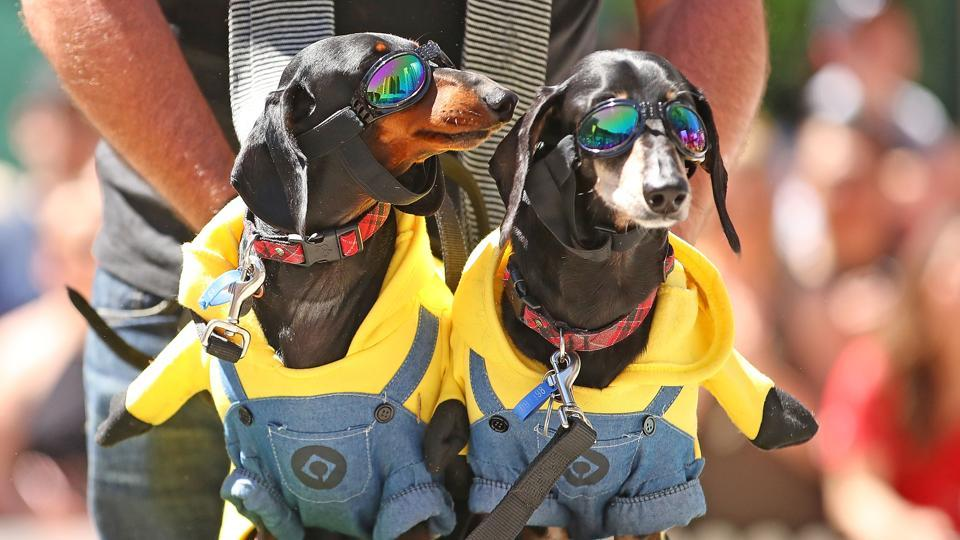 Oggy and Spencer dressed as Minions compete in The Best Dressed Dachshund Costume Competition during the annual Teckelrennen Hophaus Dachshund Race and Costume Parade in Melbourne, Australia. (Scott Barbour / Getty Images)