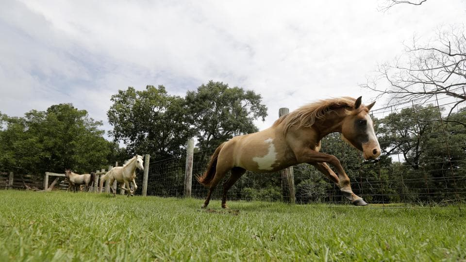 A Choctaw mare runs on Bill Frank Brown's farm. While DeSoto is Brown's only remaining stallion, Sponenberg brought suitable mares last year to the farm and the new offspring will now be distributed between Oklahoma and Mississippi to diversify the genetic pool of this prized breed. (Gerald Herbert / AP)