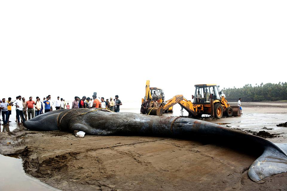 Mumbai Mangrove Conservation Unit,mmr,whale deaths