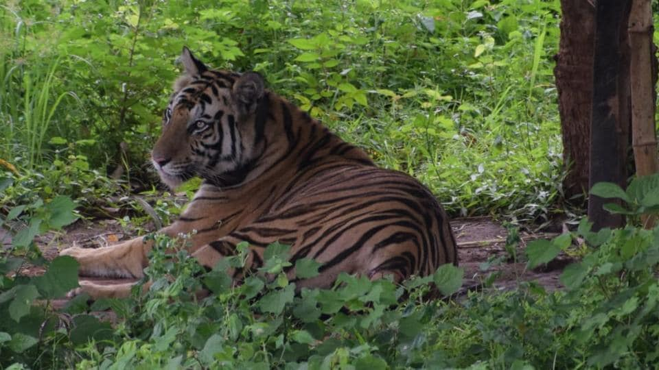 Sundari was relocated to the reserve under the country's first interstate translocation drive to boost the tiger population.