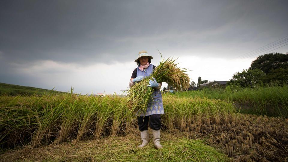 Farmer Mayumi Oya poses with harvested rice plants. And as Abe prepares for trade negotiations with US President Donald Trump, analysts say he may have to concede some ground on agriculture -- which could include Japan's customary high tariffs on imported rice. But even a surge in cheaper imported varieties is unlikely to shift the palates of Japanese consumers, who generally prefer their home-grown variety.  (Behrouz Mehri / AFP)