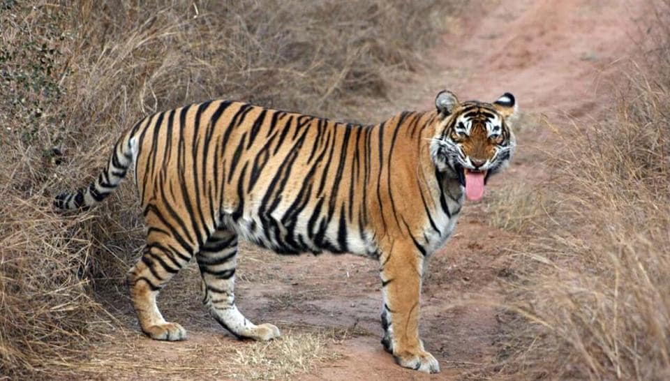Tigress ST-5 was last seen in Sariska Tiger Reserve in February this year and later authorities declared her missing after failing to find any trace of her.