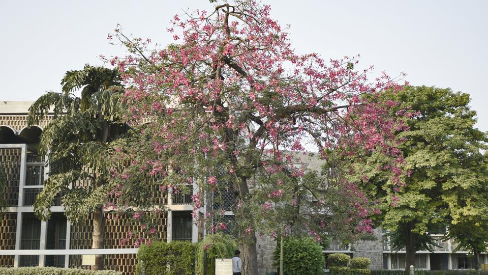 This Mexican Silk Cotton tree, inside the India International Center (IIC), is native to dry forests in South America, and was introduced to Delhi in the 1950s. The tree flowers immediately after the rains with blushing pink flowers. (Burhaan Kinu / HT Photo)