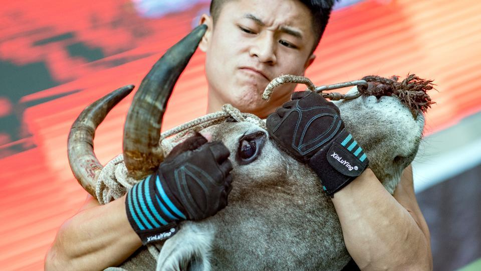 """A bull wrestler grapples a bull during a show at an arena in Jiaxing, Zhejiang province, China. When 21-year-old Chinese martial artist Li Zhen first stepped into the ring to wrestle an adult bull he was naturally intimidated. """"I was pretty scared. It's a bull, after all,"""" he said. (Johannes Eisele / AFP)"""