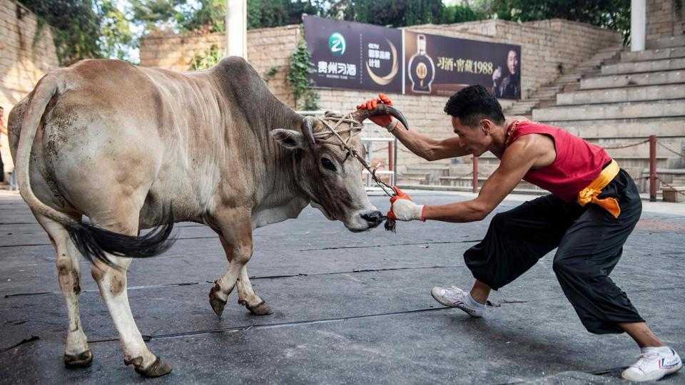 "In matches, points are scored by forcing the bulls off-balance and pushing them to the ground. ""The difficult thing about it is that people and bulls are not the same weight,"" said Li Bo, a hefty 23-year-old from China's eastern province of Anhui. ""Once you get to know them they are actually quite gentle and well-behaved,"" he added. (Johannes Eisele / AFP)"
