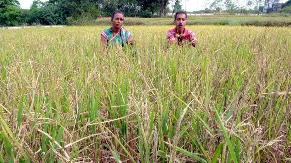 A farmer couple showing the damaged paddy crop due to insufficient rain in Ranchi, Jharkhand.