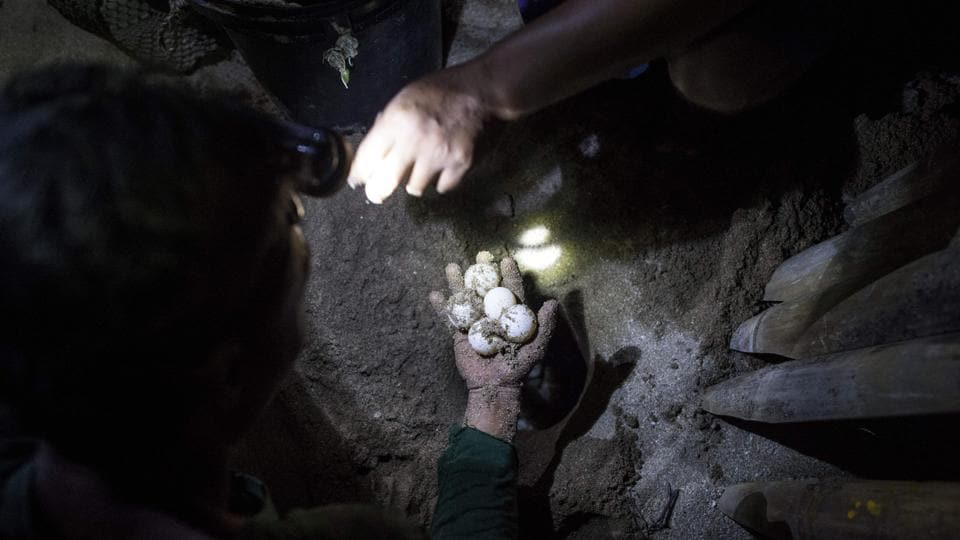 Rangers collect green turtle eggs from a nesting ground. The 56-year-old has devoted most of the last two decades to the creatures, scouring the island's 1.5-mile (2.5-kilometre) long coastline three times a night for nesting females. (Ye Aung Thu / AFP)