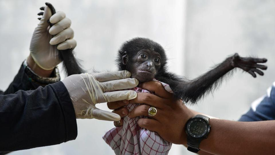 Vets check a baby siamang, or black-furred gibbon, rescued from a villager, at the local nature conservation agency's office in Banda Aceh, Aceh province, Indonesia. (Chaideer Mohyuddin / AFP)