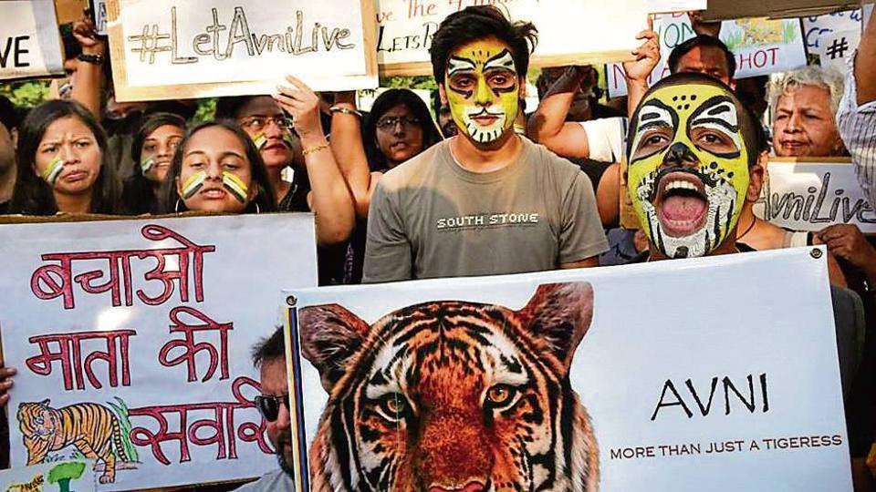 34d147bf0c1 Activists livid after  man-eater  tigress Avni shot dead by ...