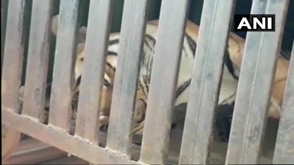 Tigress Avni shot after she attacked forest staff: Maharashtra Forest Minister Mungantiwar