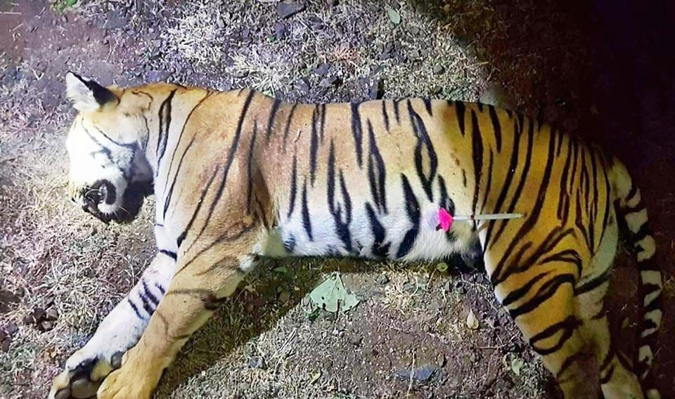 tigress avni,avni killing,T-1 tigress