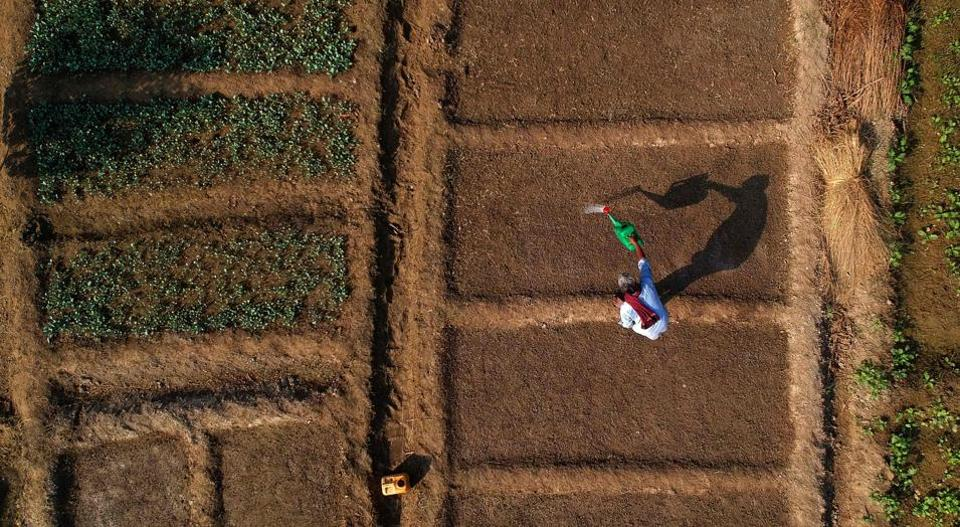 An Indian farmer watering crop of cauliflowers in his field near the banks of Yamuna River in New Delhi on October 12.