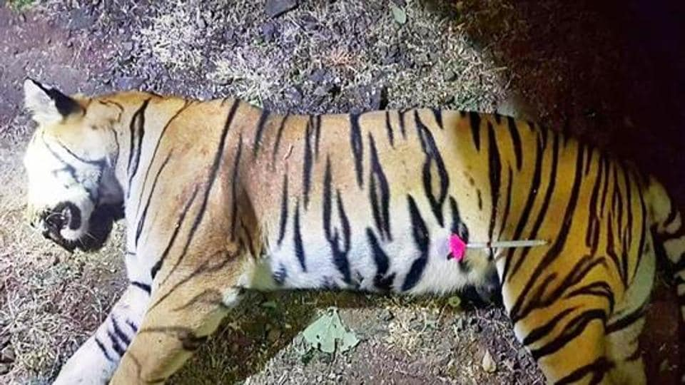 Tigress Avni killed,Avni killed,Man eating tiger Avni